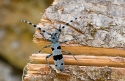 Cerambicid Longhorn beetle Rosalia alpina, endangered species from deciduous forests in the Pyrenees, Spain.