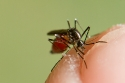 Asian Tiger mosquito (Aedes albopictus) female, bloodfeeding.
