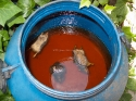 Three dead rats (Rattus rattus) drowned, Catalonia, Spain.