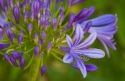 Lily of the Nile (Agapanthus spp.), Catalonia, Spain.