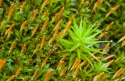 Moss sporangiums, Aran Valley, Catalonia, Spain.