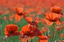 Red Poppies in abandoned wheatfield, Lleida, Catalonia, Spain.