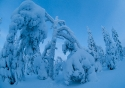 Snow forest landscape in February under extreme cold conditions, Kuusamo, Finland