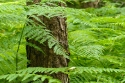 Fern in humid Beech forest, Spain