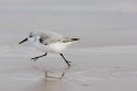 Sanderling (Calidris alba) running as usual, Donna Nook, Lincolnshire, UK.