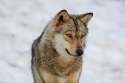 Siberian wolf (Canis lupus), controlled conditions, France.