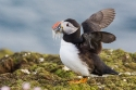 Puffin (Fratercula arctica) flapping its wings, Fair Isle, Shetland, UK