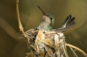 Nesting hummingbird (controlled conditions)