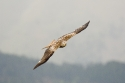 Red Kite (Milvus milvus), Ordesa NP, Aragón, Spain.