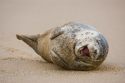 Grey Seal (Halichoerus grypius) having a good time, Donna Nook, Lincolnshire, UK.