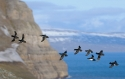 Little Auks (Alle alle) group flying over colony, Spitsbergen. Social nesting takes place in cliffs so that the main problem here was panning a long lens while following the group in a very unsteady position on a steep slope.