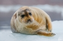 Bearded Seal (Erignathus barbatus) resting on a pack of ice, off northern Spitsbergen, Svalbard archipelago.