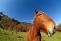 Distorted portrait of a Horse in the Artiga de Lin mountain prairie, Aran valley, Pyrenees of Lleida, Spain