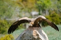 Griffon vulture perched on a rock, prepared for takeoff, Spain