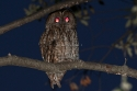 Tawny Owl (Strix aluco) perched on a tree at dusk, Spain.