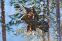 Golden Eagle in the snow in winter at a feeding point, Oulanka area, Kuusamo, Finland