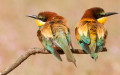 Couple of European Beeeaters (Merops apiaster) perched in the surroundings of the nest in breeding season, Spain