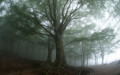 Beech trees (Fagus sylvatica) in the mist, Montseny nature reserve, Spain. This is the Southernmost Beech forest in Europe.