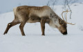 Scandinavian Reindeer (Rangifer tarandus) cattle looking for some food in winter under the snow, Tromso area, Norway