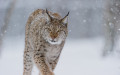 Eurasian Lynx (Lynx lynx) in winter fur over snow and under snowfall, controlled conditions, Norway