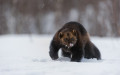 Wolverine (Gulo gulo) in winter, running on snow and under snowfall, controlled conditions, Norway