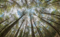 Distorted view of a young forest of Scots Pine, Spain